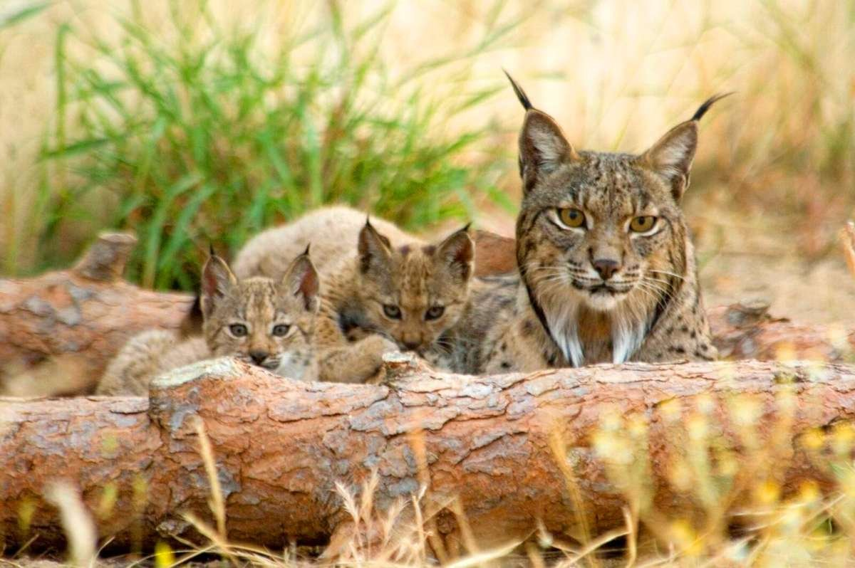 Thre iberian lynx relaxing in the dry summer weather