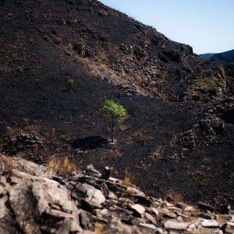 Green pine in burnt landscape