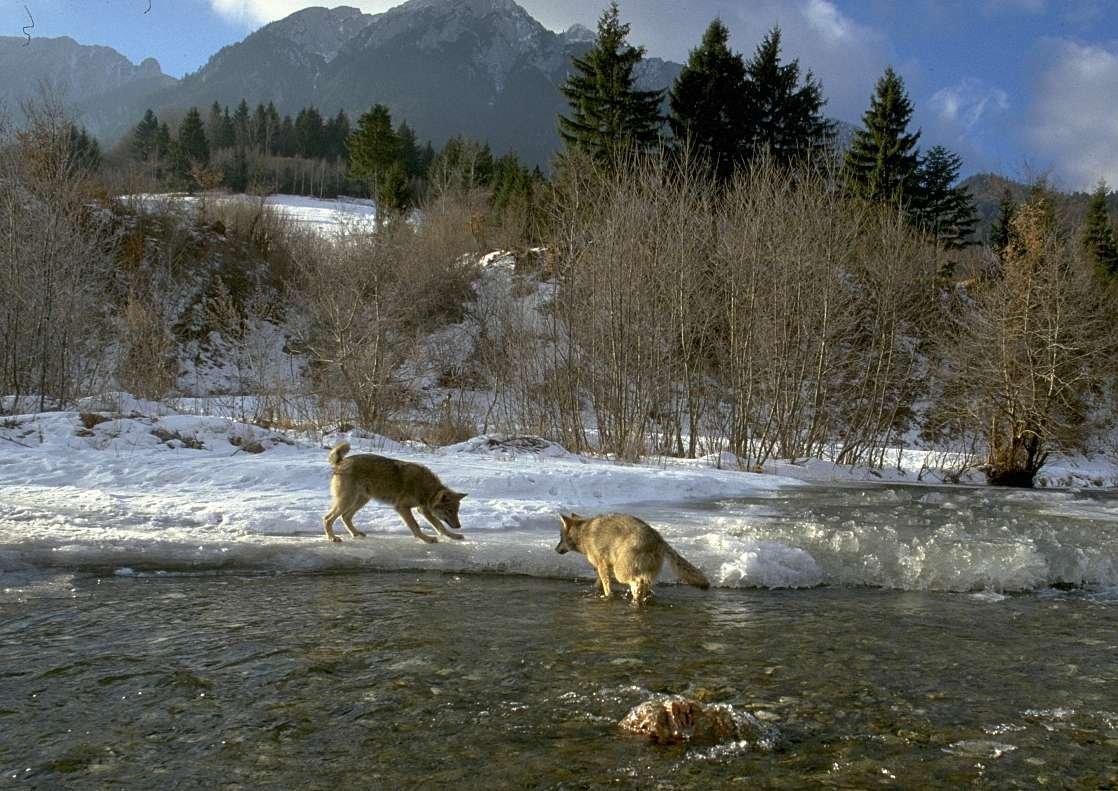Rewilding Romania