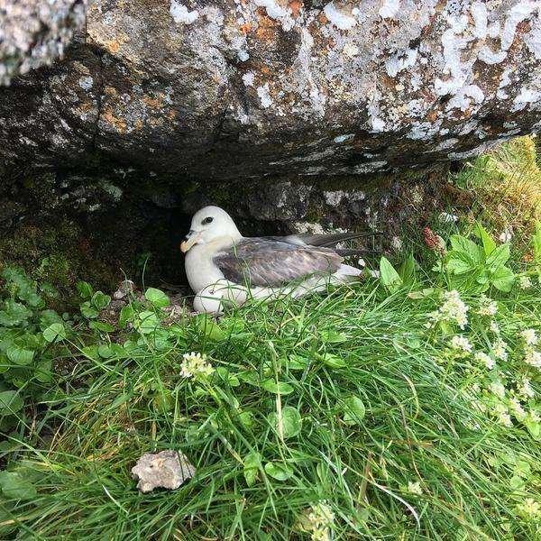 Nest in the Faroe Islands