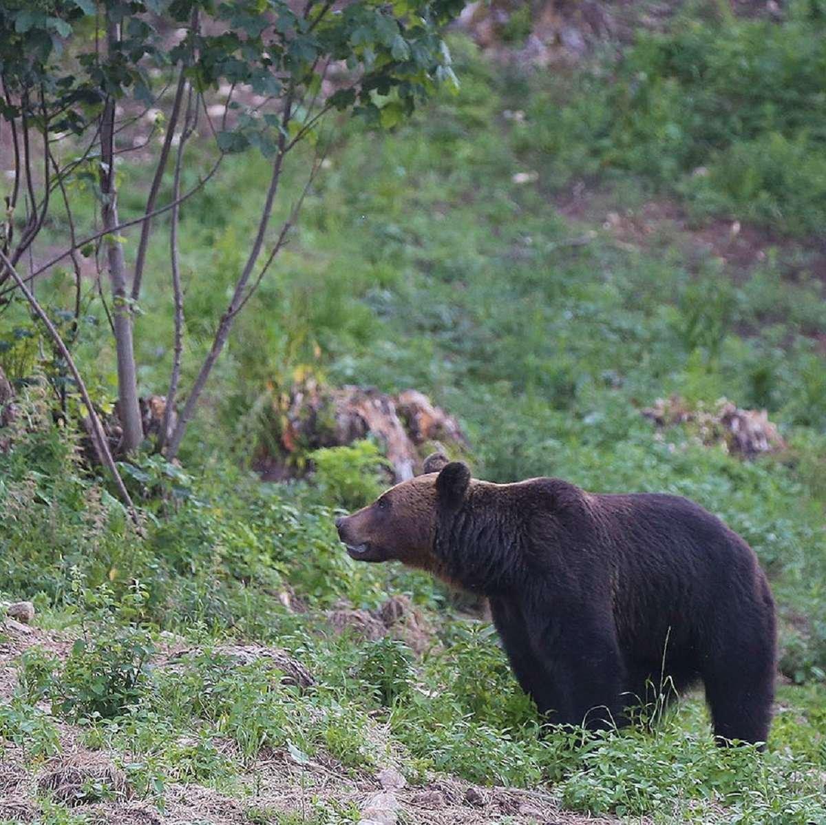 Brown Bear Romania