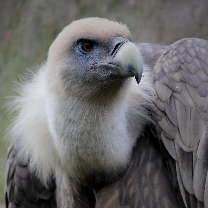 A young griffon vulture