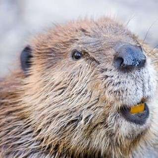 Close up of beaver