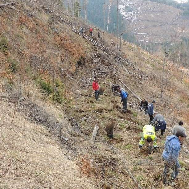 tree planting in a clear cut in the Fagaras