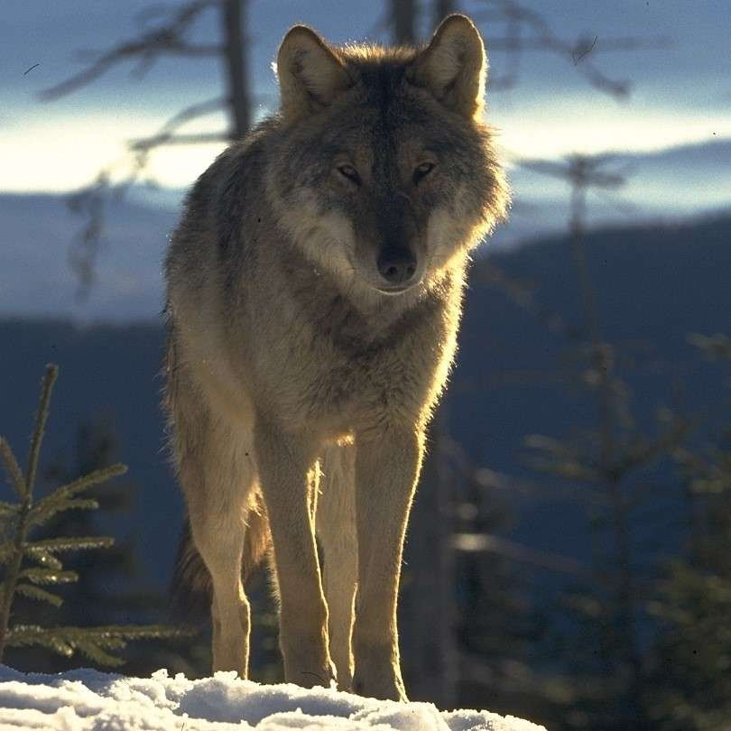 Wolf in Southern Carpathians