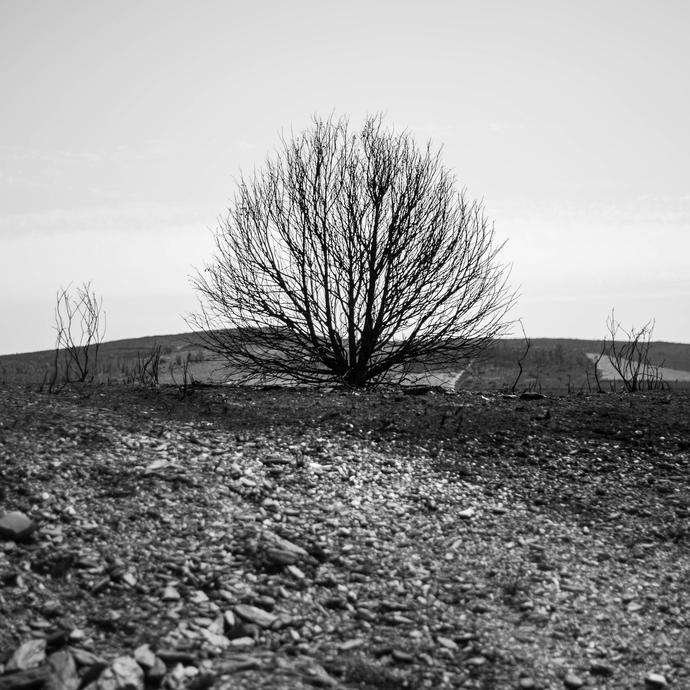 Burnt shrub in western iberia