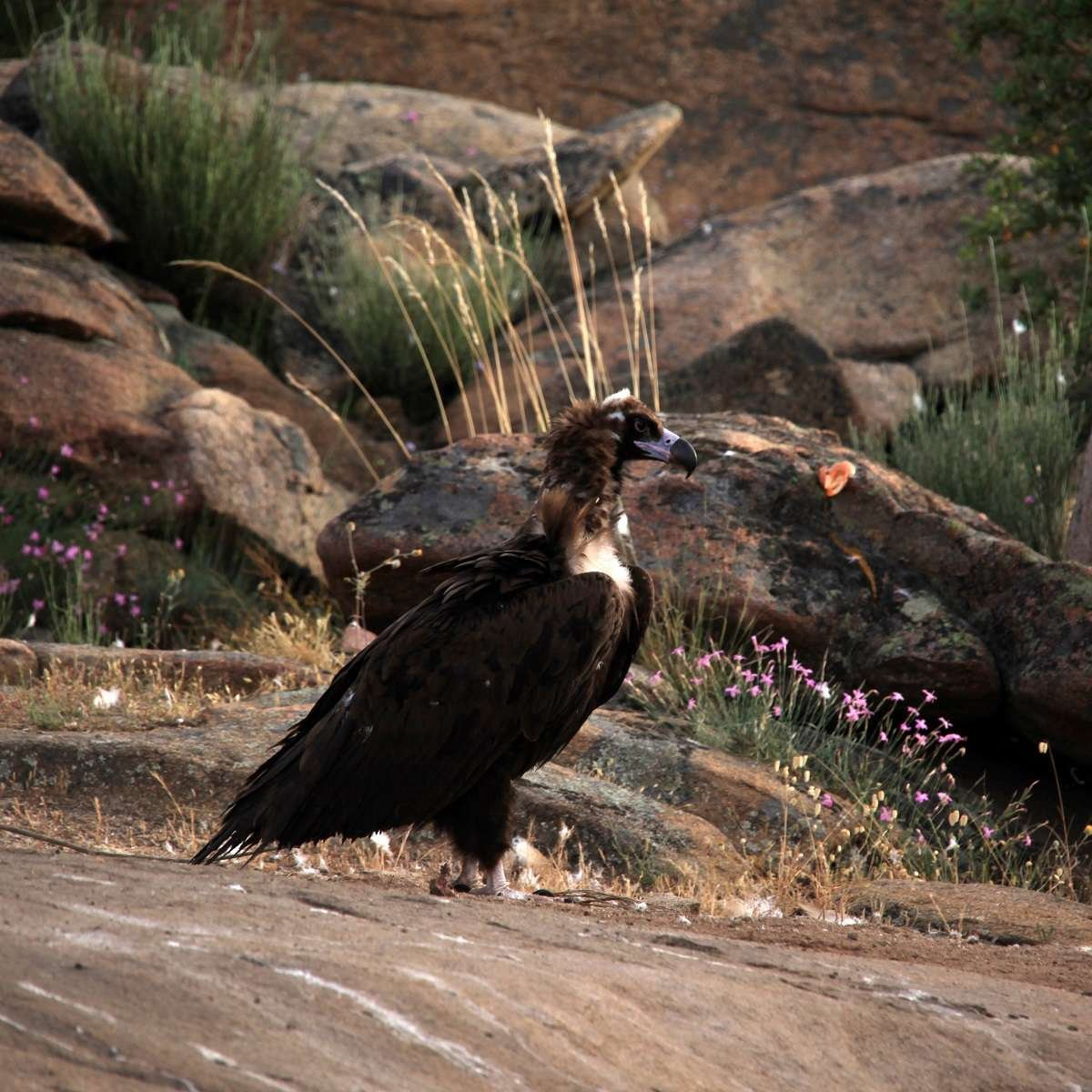 Black Vulture in western iberia