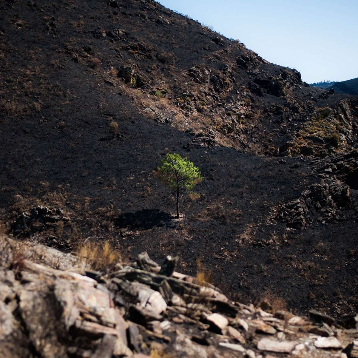 A lucky tree that escaped the fire stands alone on a charred hillside. The only green in a 5km radius.