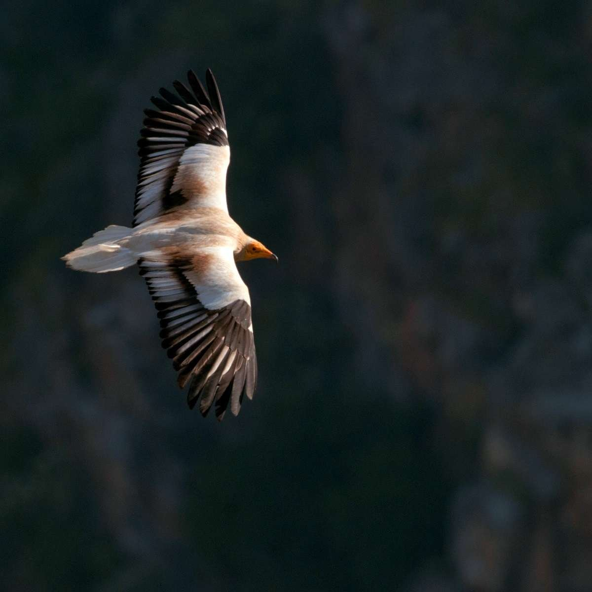 an egyptian vulture flying over a burnt area